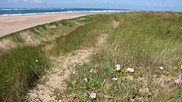 The flora enjoying life on the foredunes here at Airy Point has been able to colonise thanks to 'dune pioneers' such as marram grass, which bind the sand with their roots and stabilise it thus allowing other plants to move in.  Courtesy John and Mary Breeds.