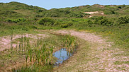 Wet areas like this slack are one of the best places to find life on the dunes and attract amphibians and insects.  They also encourage a wider variety of plants and flowers such as the flag iris which are seen here.  Courtesy John and Mary Breeds.