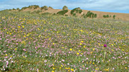 Carpets of flowers such as this are a fantastic sight on the Burrows during the summer and attract a myriad of butterflies and other insects.  Courtesy John and Mary Breeds.
