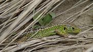 Sand lizards are endangered in Britain and as a result are legally protected.  Although they are active during the day, they are very shy and difficult to spot and even in favourable weather they will spend much of their time underground.  Courtesy John and Mary Breeds.