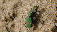 Green tiger beetles.  These iridescent hunters run fast when seizing prey or when disturbed and will readily fly short distances.  The larvae live in a small pit actively waiting for small insects like ants to blindly wander in. Once trapped, the tiger beetle larvae can capture it with their large jaws.  Courtesy John and Mary Breeds.