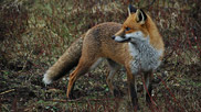 The fox is a remarkably resourceful creature, able to cope in a very wide range of different environmental conditions.  They feed mainly on small rodents such as field mice, rabbits and voles but will eat almost anything if needs must.  Courtesy John and Mary Breeds.