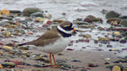 The ringed plover is a small, dumpy, short-legged wading bird.  They forage for food on beaches, tidal flats and fields, usually by sight. They eat insects, crustaceans and worms.  Courtesy of Rob Jutsum.