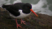 The oystercatcher is a large, stocky, black and white wading bird. It has a long, orange-red bill and reddish-pink legs.  It has a particular penchant for cockles and mussels.  Courtesy of Rob Jutsum.
