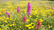 The early marsh orchid has beautifully coloured flowers, but the colour fades after the flower opens.  Birds-foot trefoil is often known as 'eggs and bacon' because of the bright yellow and streaky red flowers.  Courtesy John and Mary Breeds.