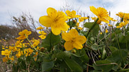 Also known as the marsh marigold, kingcups are probably one of the most ancient British native plants.  Courtesy John and Mary Breeds.