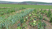 These vegetables are growing in a small strip on Braunton Great Field. Fresh veg are sold direct to the public from farms around the Great Field.  Courtesy of Courtesy of Katie James / Reg Ashton.