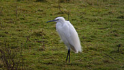The little egret is a small white heron with attractive white plumes on crest, back and chest.  It is included on the RSPB Amber List as a rare breeding species. Courtesy of Rob Jutsum.