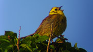 The yellowhammer can often be seen perched on top of a hedge or bush, singing. Its recent population decline make it an RSPB Red List species. Courtesy of Rob Jutsum.