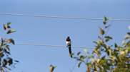 Magpie at Velator