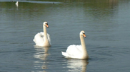Swans at Velator